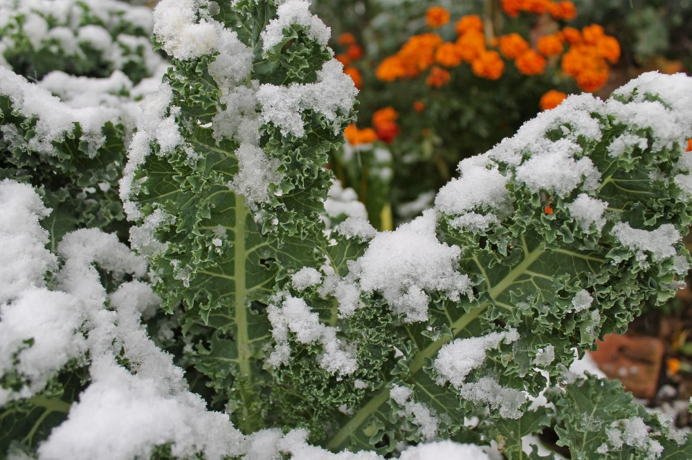Dwarf Blue Scotch Kale is never loaded down from snow like our tall grasses. All you have to do it hit the snow off this kale and they just stand tall and strong and blue green!