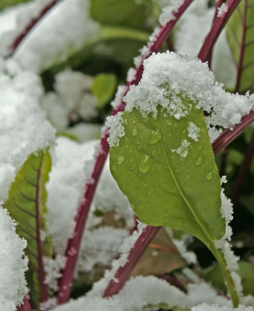 Fall planted Red Beets and Radicchio covered with first snowfall...