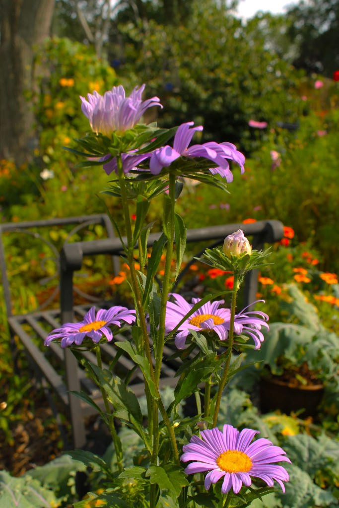 China Aster blooming wiht marigolds and Kale