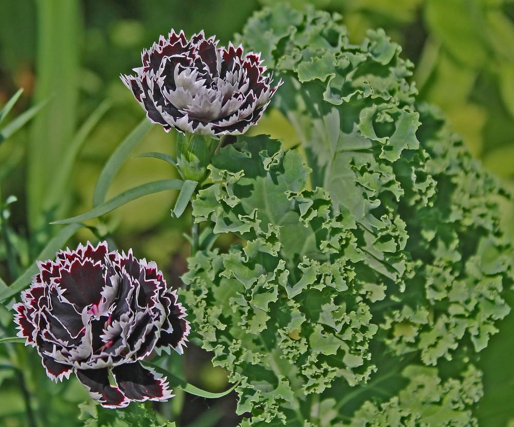 Dianthus Black + white + Blue Scotch Kale