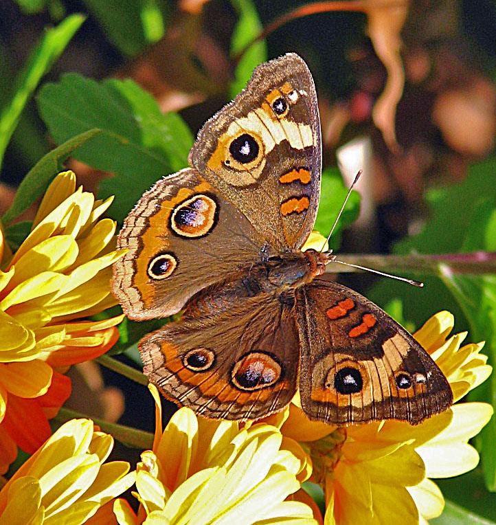 calendula marigolds 2011 ocotber 22 047