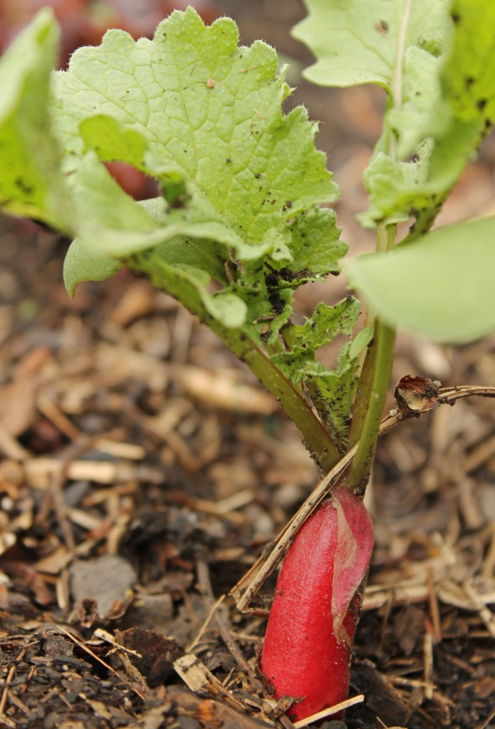 Simple French Breakfast Radish pushing out of the soil to let you know it is time to eat...