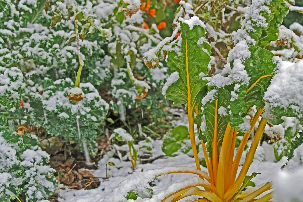 Kale + Swiss Chard that I  started under lights this past spring and placed out in march to april...they were munched on a bit by critters early spring, but they recoverd and are now providing wonderful fall salads. The Swiss Chard does not handle the cold as well as Kale, so I do cover it as   the snow gets deeper and colder...