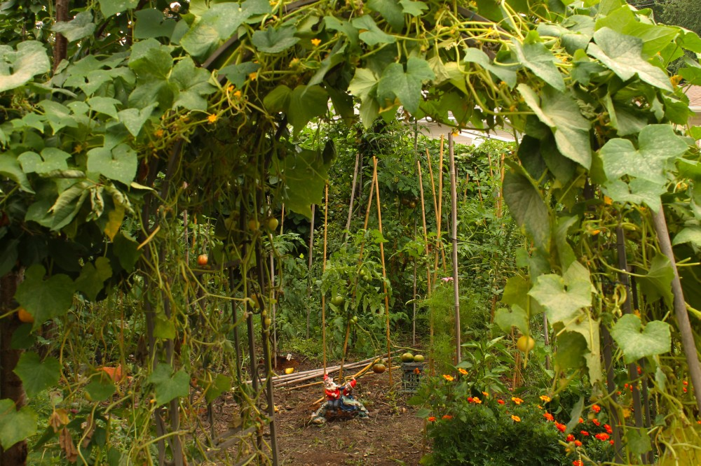 """It took me about an hour to clear out all the cucumbers and vines from this arbor for late season tune-up. I call it """"tune-up"""" since it is a  way to keep the plants producing cucumbers. The Heirloom Lemon Cucumber will produce almost up to Halloween. they are smaller but still tasty + great in a sandwich!"""