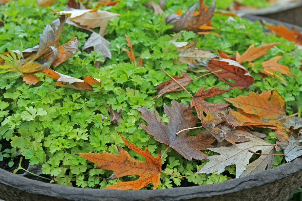 My fall parsley that I started in containers which I can move closer ot the house as the weather gets a bit colder. I enjoy parsley in my salads.