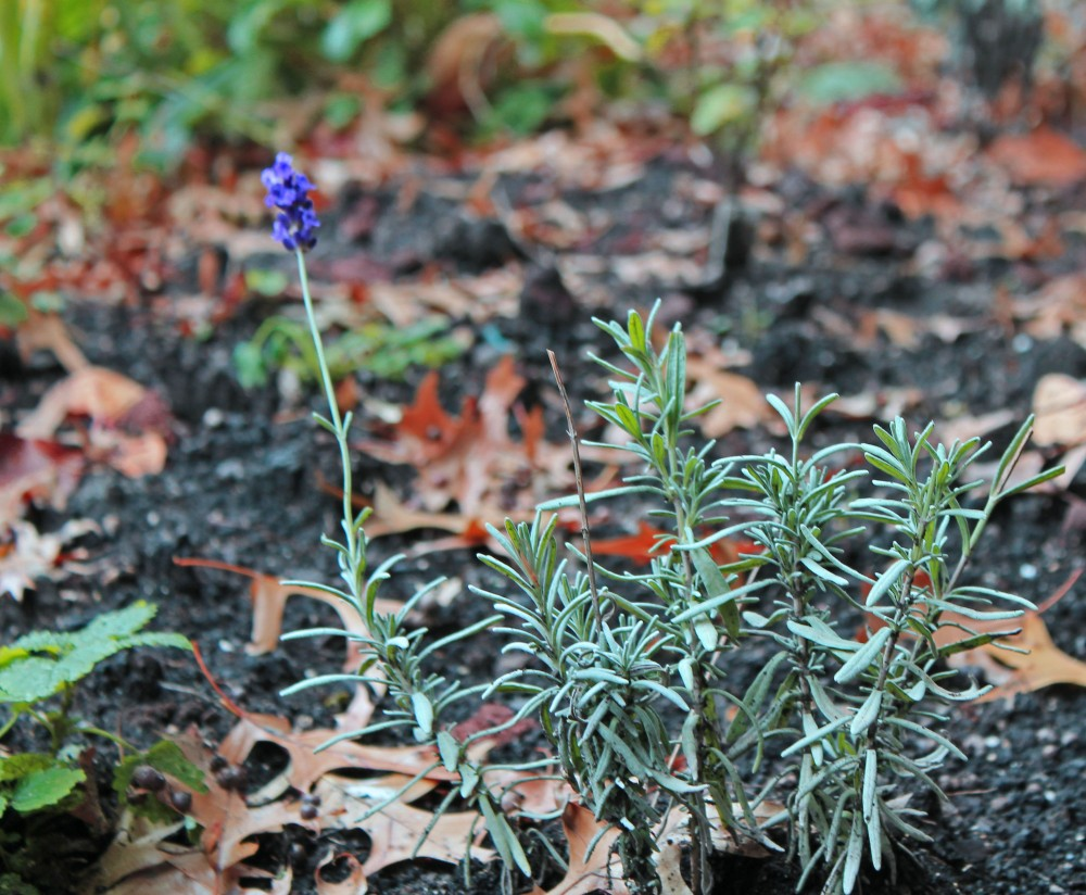 Lavender for my new herba garden which is enjoying a brief warm-up here in zone 5....this is a cooler climate lavender which I am hoping will do well in this new area