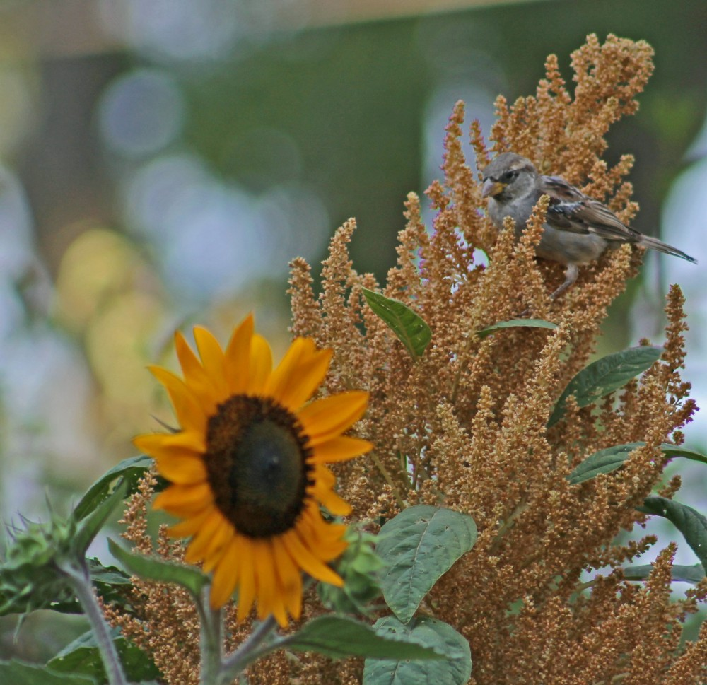 our local birds will even try to hide in search of  the amazing garden seed our plants provide in our urban potager