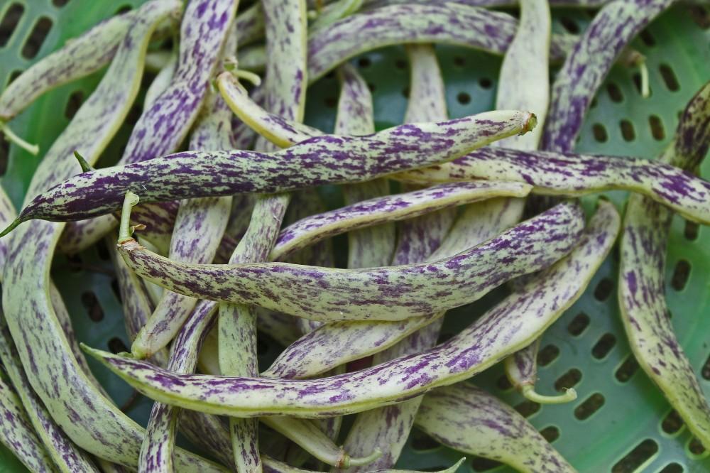 Dragon Tongue Bush Beans