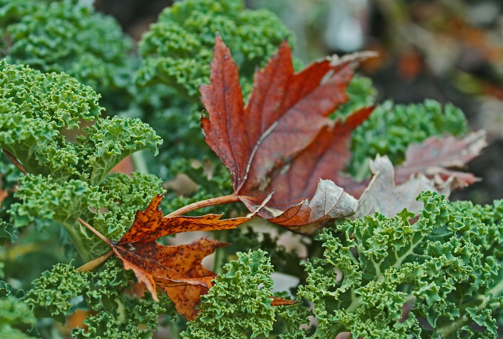 Fall Dwarf Blue Scotch Kale....this time of year picking leaves out of salad greens is a daily chore when fixing fall salads, but so worth the effort as Kale enjoys the cool days and nights.