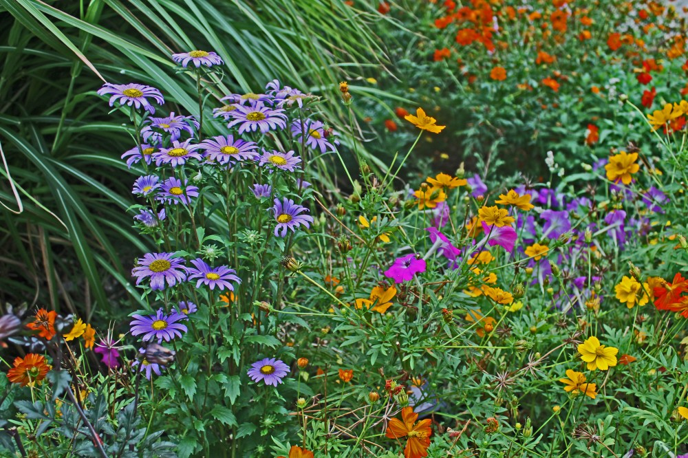 aug 29th backyard planning 2012 china aster, hawai marigold 150