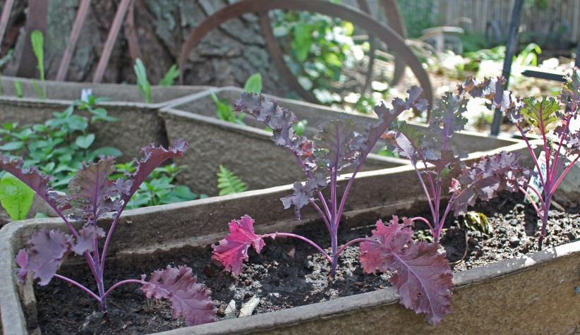 September 26th 2012 pansy,red kale, potted plants for sale 001