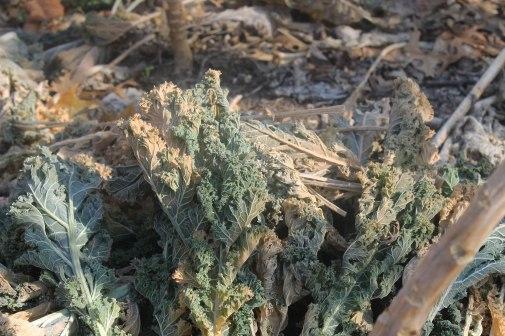 IMG_1773-Kale-pruned-mid-winter