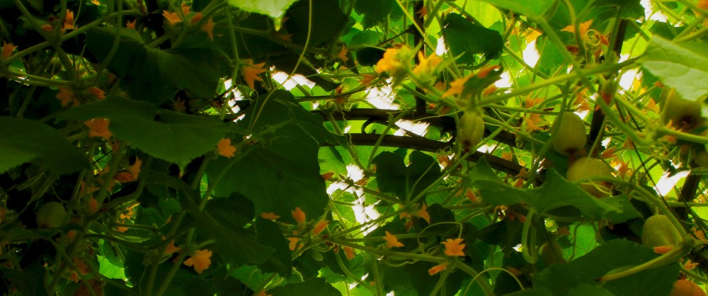 All summer the bees were dancing between these lovely, dainty flowers on this arbor