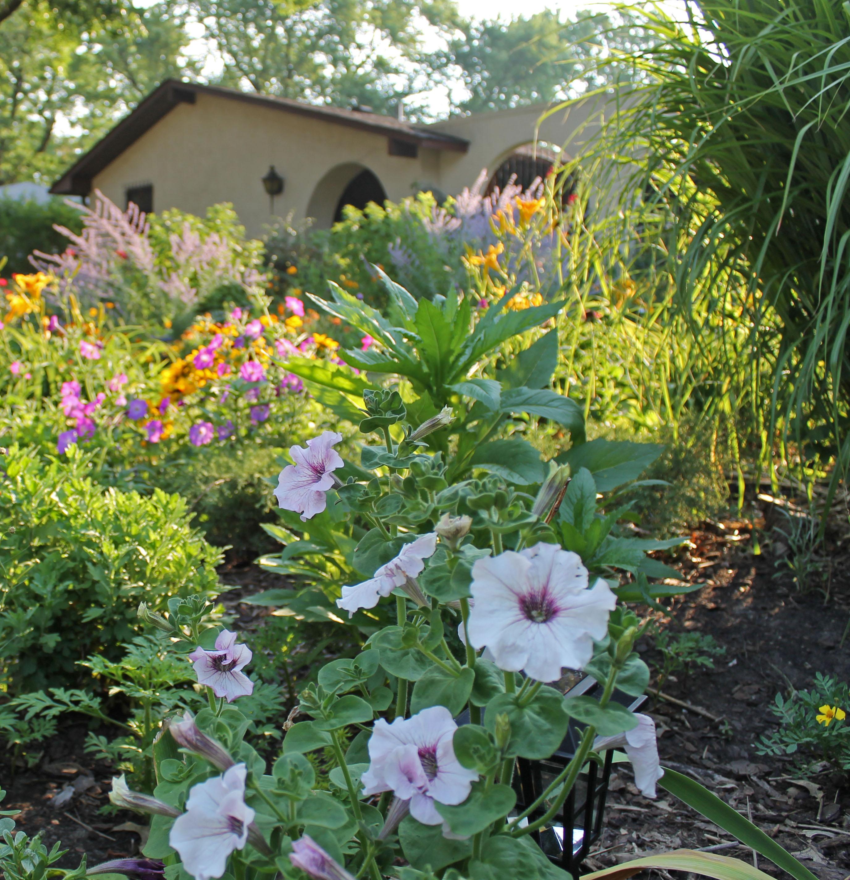 june 23 California Giant Petunia+ Old fash Take 2 036