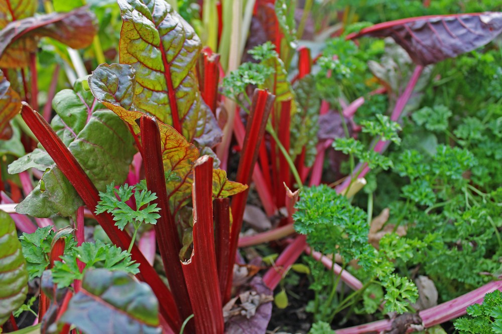 If you have a container you can grow immunity fighting veggies-here is a pot of Red Rhubarb Swiss Chard and parsley together in a pot