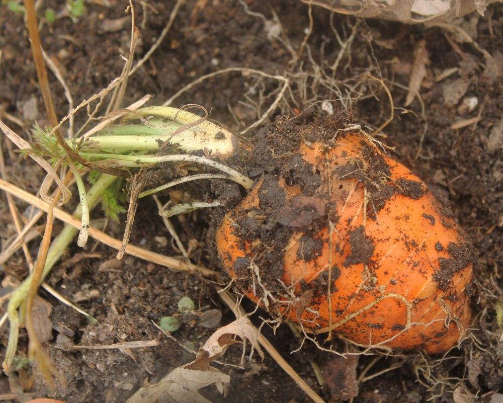 IMG_1675-oxheart-carrot