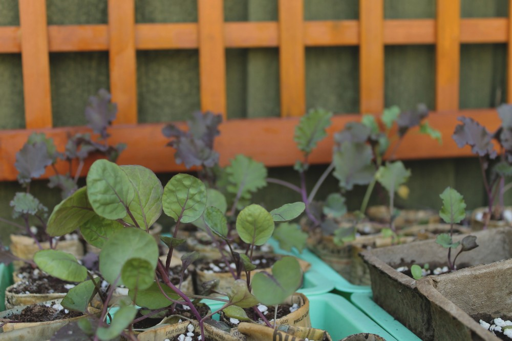 fall crops are waiting to be placed in garden beds since in our urban potager we practice succession plantings..