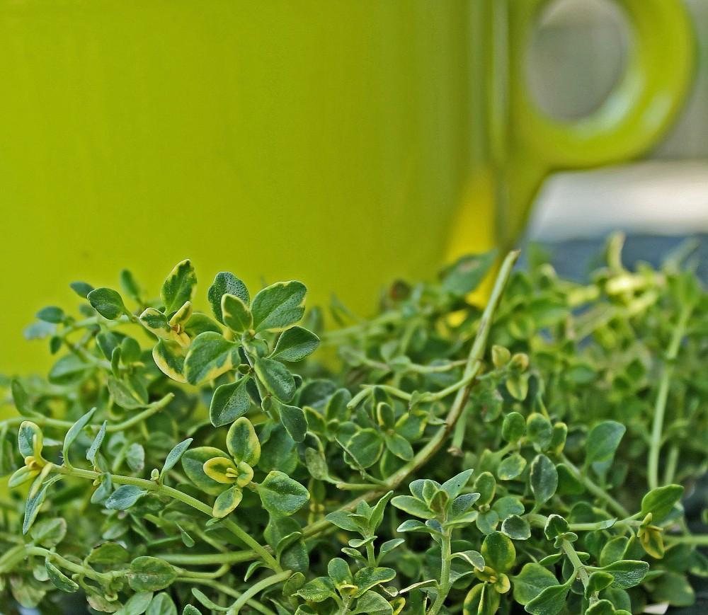 Cup of Lemon Thyme Tea