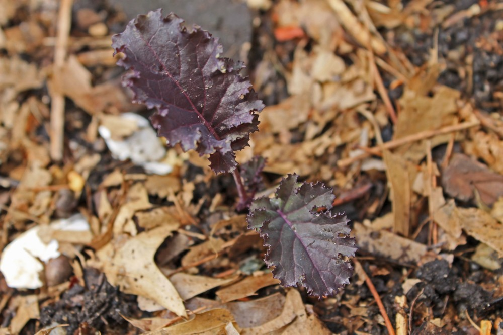 Here, I have it used around my purple baby kale which I planted out the other day...