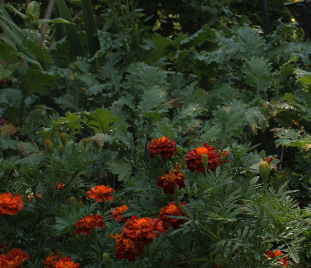 Love to mix french marigolds with kale