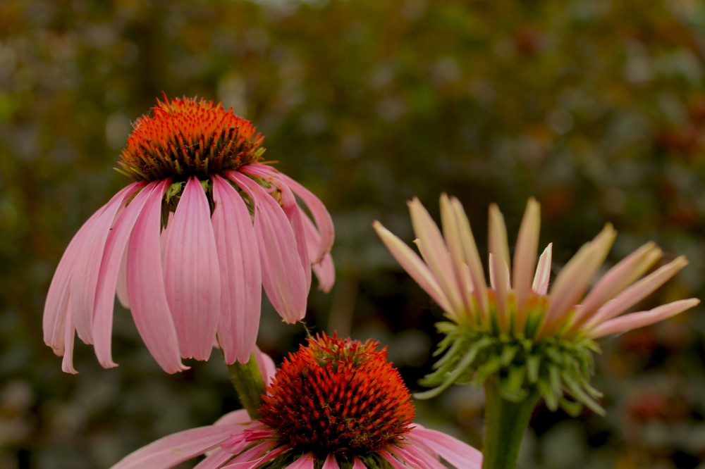 cone flowers should be the signature plant in every organic garden