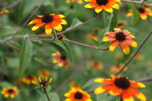IMG_2146-Triloba-rudbeckia-mix-red