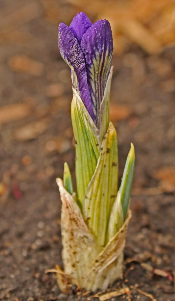 Iris reticulata emerges every year in our urban ptoager + it is one of the first to help provide for our bees...
