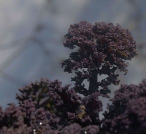 IMG_1715-Kale-red