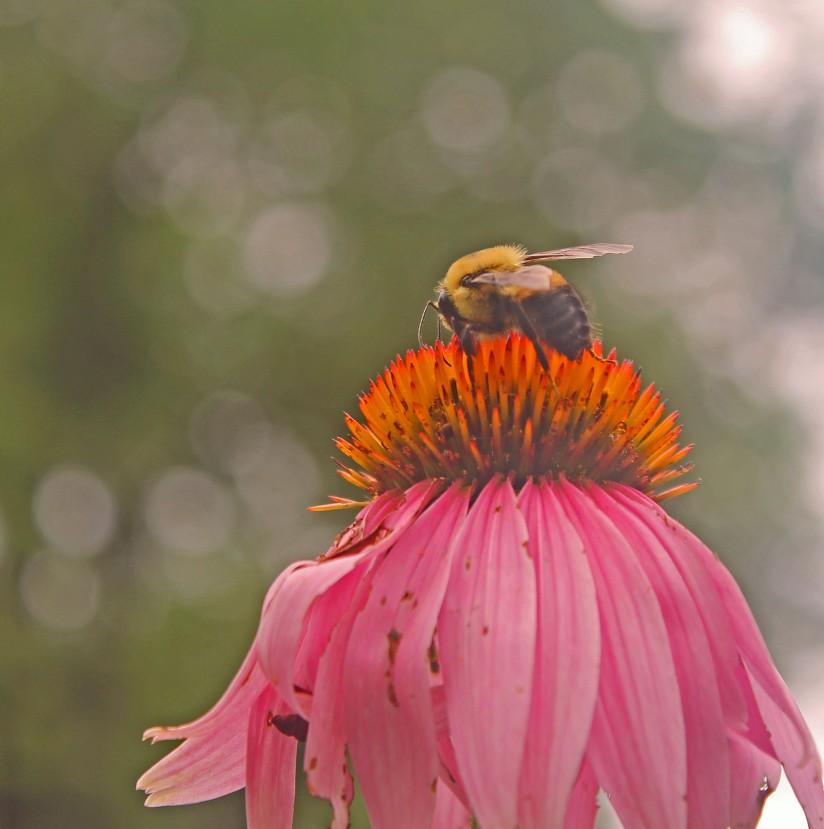 "Echinacea purpurea "" coneflower"" are all over our urban potager"