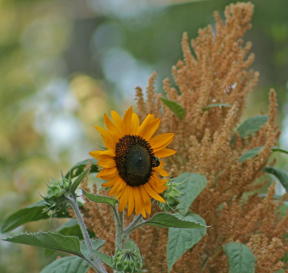 Saving seed means you have plants from the past that you may want to grow later...this is an amaranth with an italian sunflower that I grew in 2011 and I am glad I saved the seed...
